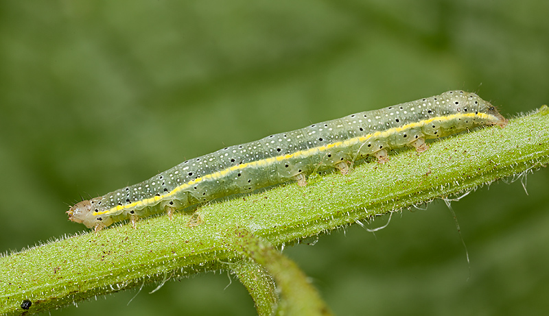 Bright-line Brown-eye