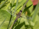 Four Spotted Chaser