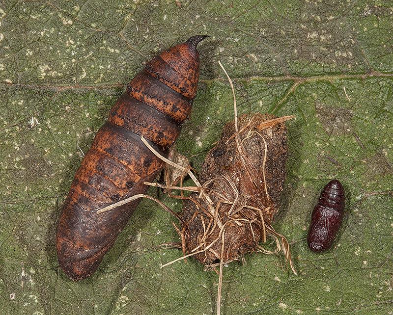 Moth Pupae