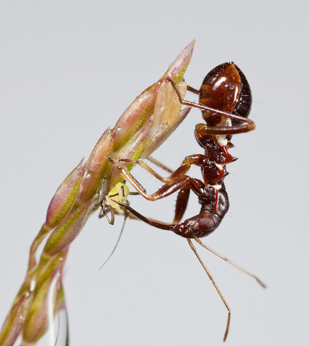 Myrmecoris gracilis