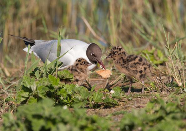 Black Headed Gull + Chicks