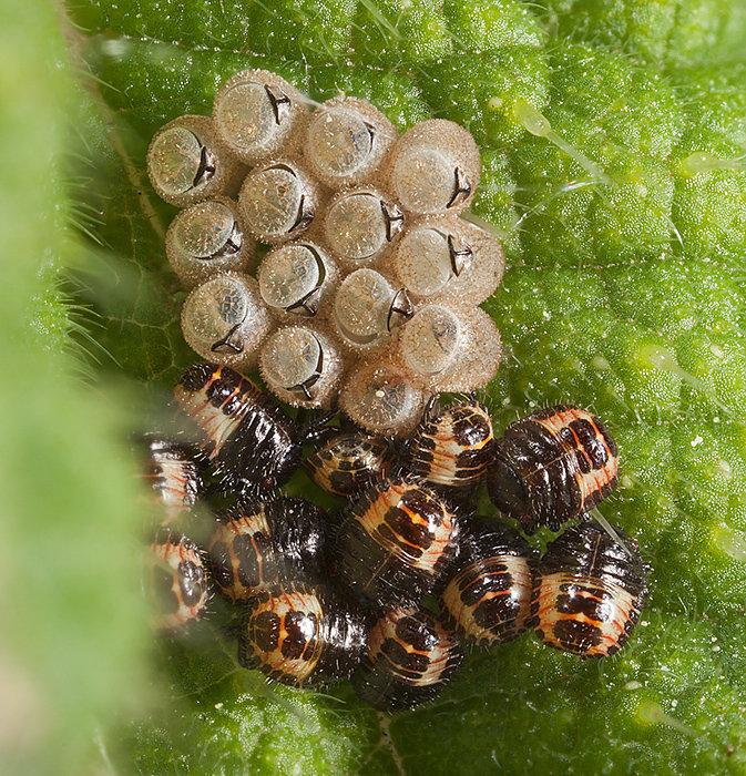 Newly hatched Shieldbugs