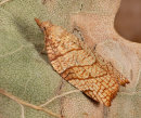 Chequered Fruit tree Tortrix