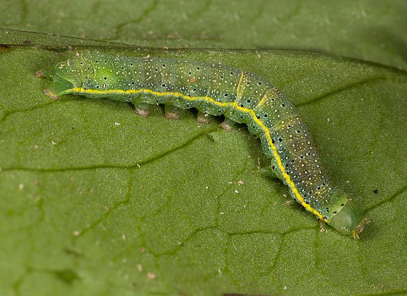 Caterpillar (unidentified)
