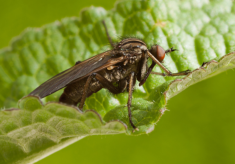 Dagger Fly - Empis tessellata