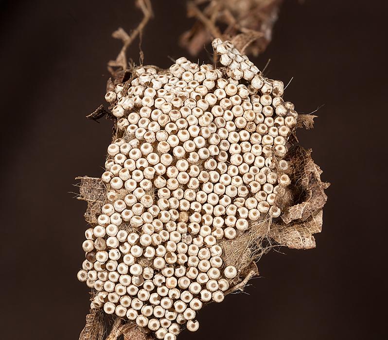 Moth Eggshells