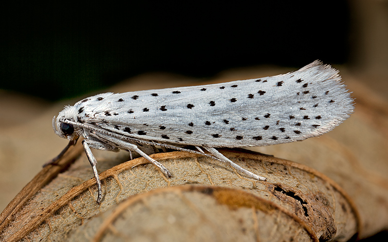 Bird Cherry Ermine