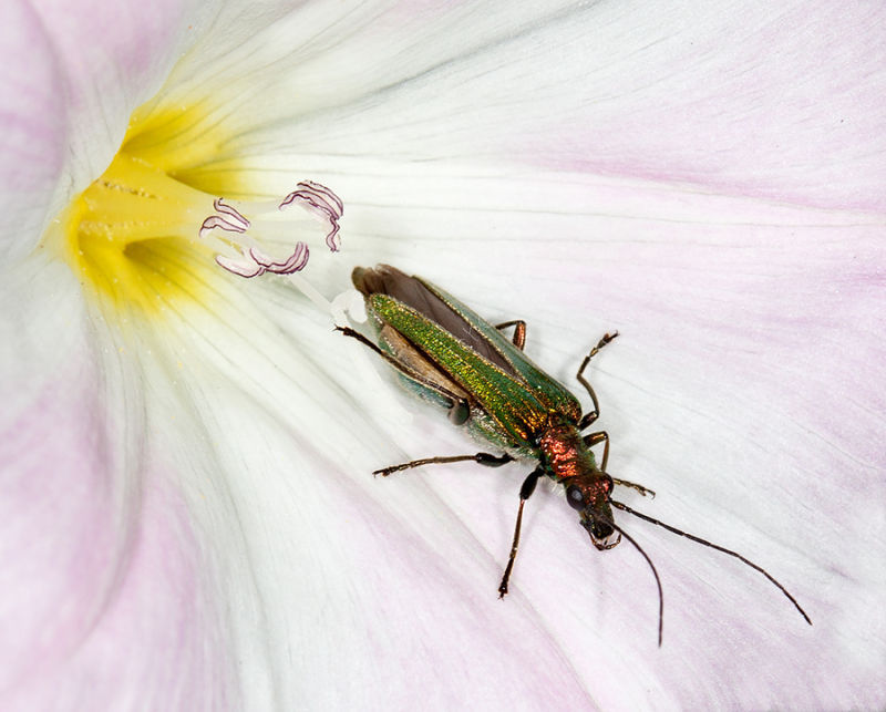 Thick Legged Flower Beetle (female)