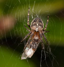 Garden Spider with flying ant
