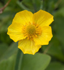 Greater Spearwort