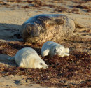 Grey Seal with Pups