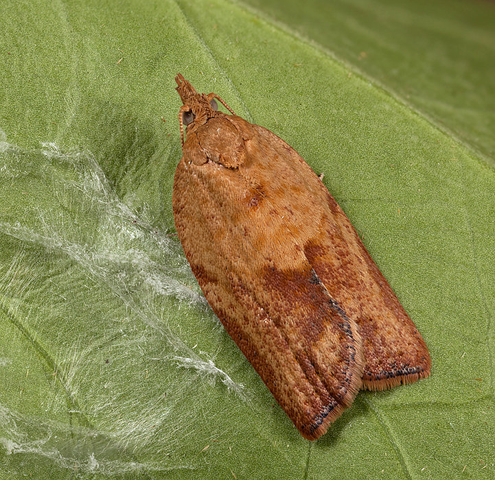 Tortrix - Clepsis consimilana ?