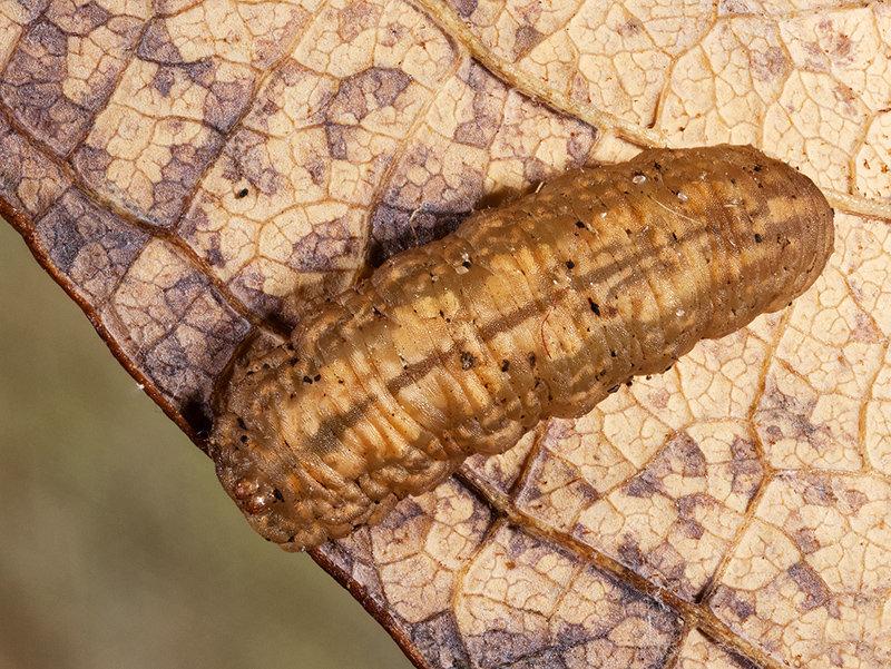 Slugworm