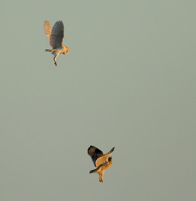 Barn Owl and Short Eared Owl