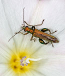 Thick Legged Flower Beetle (male)