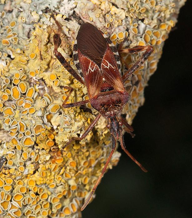 Leptoglossus occidentalis - Western Conifer Seed Bug