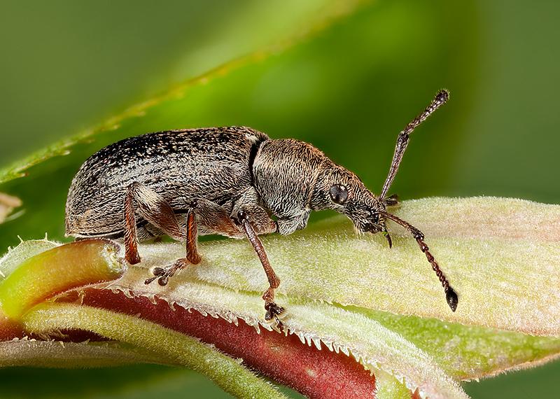 Weevil - Phyllobius Pyri