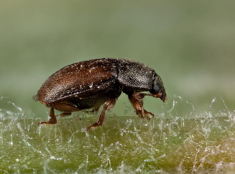 Anobium punctatum - Furniture beetle