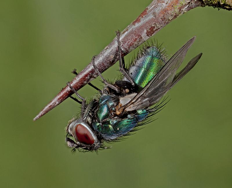 Greenbottle - Lucilia sericata