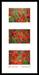 Field Poppies near Dover