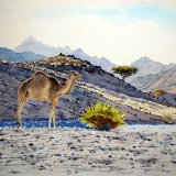 Camel in Landscape. Watercolour 65 x 43cm