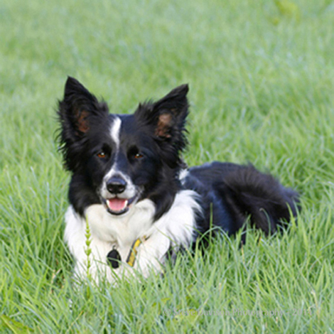 Border Collie - Meg