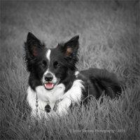 Border Collie - Meg (Monochrome)