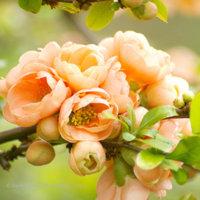 Peach Quince Blossom