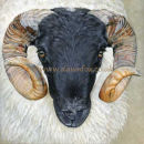 Blackface Ram