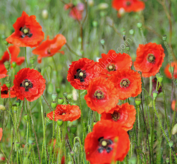 Poppies, East Bilney