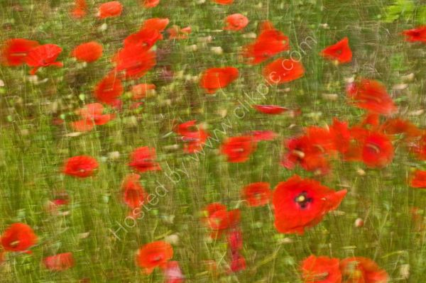 Swaying poppies, East Bilney