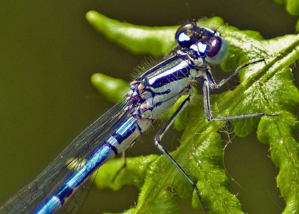 Damsel Fly on Fern