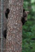 Brown Bear Cub Peek
