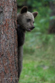 Brown Bear Cub Up A Tree
