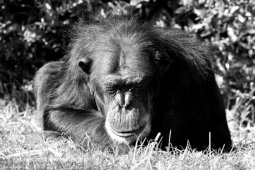 Chimp Resting