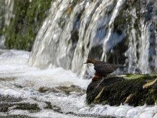 Dipper In The Falls