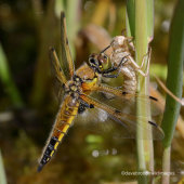 Four Spotted Chaser and Larva Skin