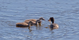 Great Crested Grebe Feeding Time