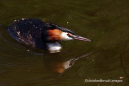Great Crested Grebe Reflection
