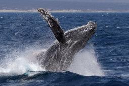Humpback Breach Again