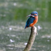 Kingfisher Look Back