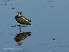 Lapwing Reflection