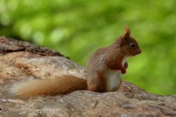 Red Squirrel Pose
