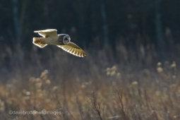 Short Eared Owl Backlit