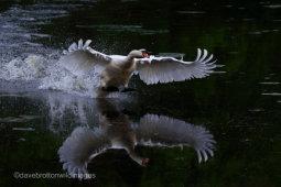 Swan Take Off