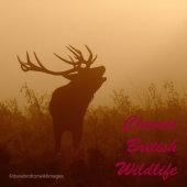 Talk: Classic British Wildlife