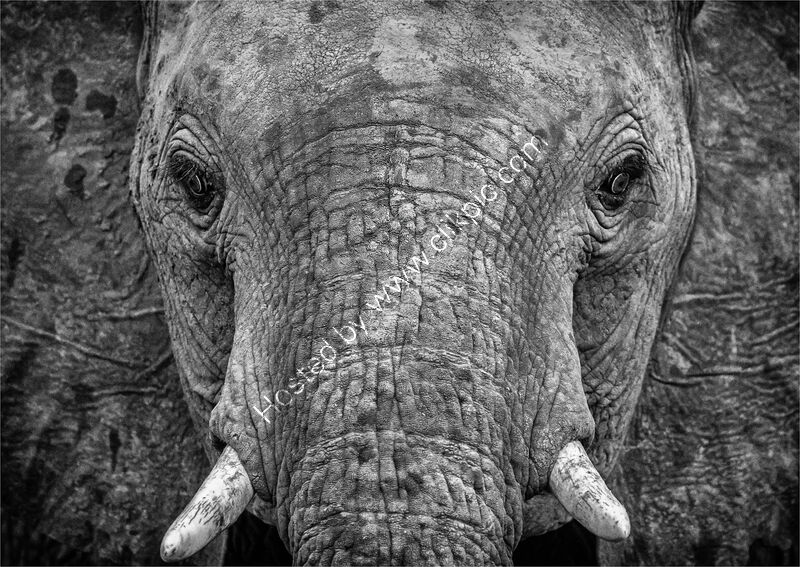 AFRICAN ELEPHANT by Neil Partridge