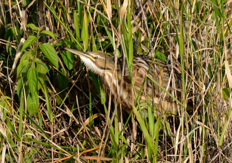 AMERICAN BITTERN by Peter Dishart