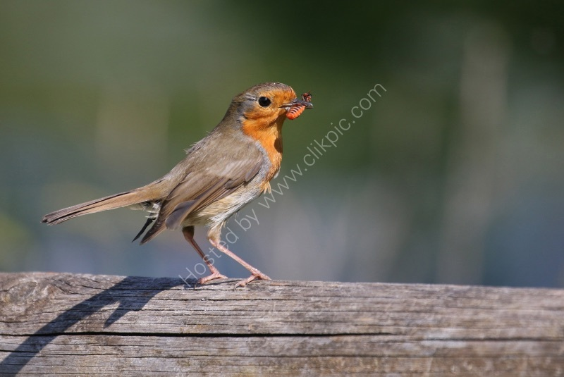A ROBIN WITH MORSEL by Stanley J Annable