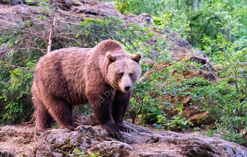 BAVARIAN BEAR by Peter Ward
